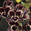 Fdk. After Dark 'Crazy Good', photo courtesy of Sunset Valley Orchids